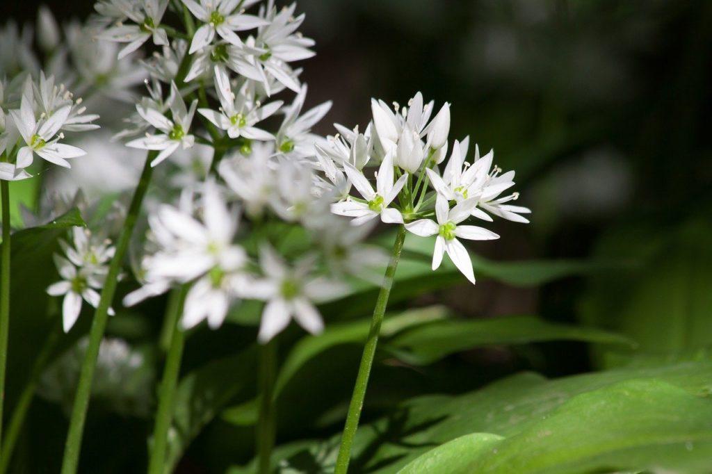 bear's garlic, allium ursinum, inflorescence