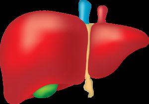liver, organ, anatomy